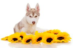 Sibeian husky Royalty Free Stock Photography