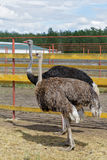 Siberia. African ostriches on a farm Royalty Free Stock Image