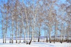 Siberia, arboleda del abedul en invierno Fotografía de archivo libre de regalías
