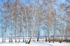Siberia, arboleda del abedul en invierno Fotos de archivo libres de regalías