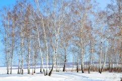 Siberia, arboleda del abedul en invierno Imagenes de archivo