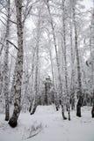 siberia Bosque del abedul en nieve Imágenes de archivo libres de regalías