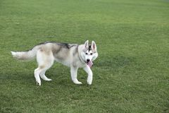 Huskies. The Siberia sled dog is a primitive ancient dog breed living in northeastern Siberia and southern Greenland. The origin of Husky`s name stems from its stock photos