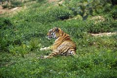 Siberia tiger Royalty Free Stock Image