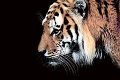 Siberia tiger Stock Image