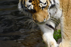 Siberia tiger Royalty Free Stock Images