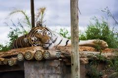 Siberia Tiger Stock Photography