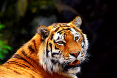 Siberia tiger. Watching and copy space on black bakground royalty free stock image