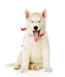 Siberiaan Husky sitting in front and yawns. isolated Royalty Free Stock Photo