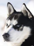 siberian łuskowaty śnieg obraz royalty free