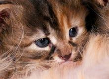 Siberian котенок Стоковая Фотография