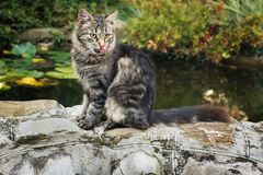 Siberian кот Сидит на береге пруда стоковое изображение rf