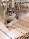 Siberian кот стоковая фотография