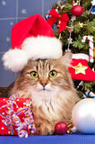 Siberian кот Стоковые Фото