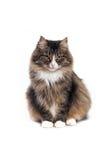 Siberian кот Стоковые Фотографии RF