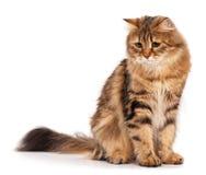 Siberian кот Стоковые Изображения