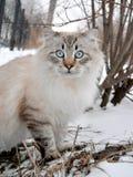 Siberian кот Стоковое Фото