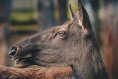 Siberian олени Стоковая Фотография