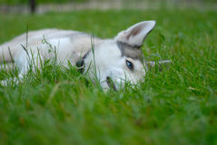 Siberian собака шелухи стоковое изображение rf