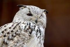 Siberian сыч орла Стоковое Изображение RF