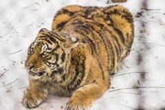 Siberian тигр в Харбин Китае Стоковые Фото