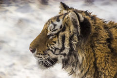 Siberian тигр в Харбин Китае Стоковое Изображение