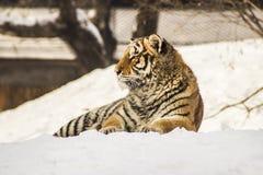 Siberian тигр в Харбин Китае Стоковое Изображение RF