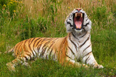 siberian тигр зевая Стоковое Изображение