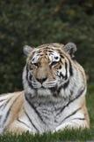 siberian тигр Стоковое Изображение