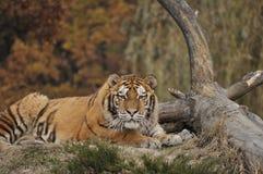 siberian тигр Стоковая Фотография