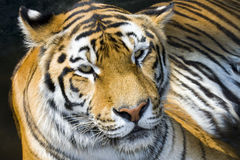Siberian тигр Стоковая Фотография RF
