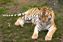 siberian тигр Стоковое Изображение RF