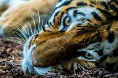siberian тигр стоковые изображения