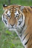 siberian тигр Стоковое фото RF