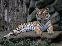 siberian тигр Стоковое Фото