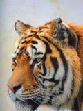 siberian тигр Стоковые Изображения RF