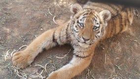 Siberian тигр Cub Стоковые Изображения RF