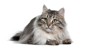 Siberian (9 months old) Stock Images