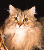 Siberian adult cat Stock Image