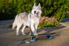 Siberian adult husky walks in the summer and looks into the distance like a beautiful wolf