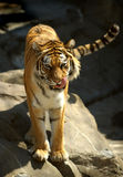 Siberian (Amur) Tiger. Licking his chops - captive animal stock photo
