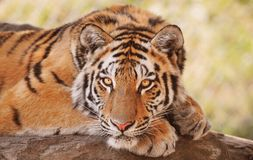 Siberian or Amur tiger. Portrait of Siberian or Amur tiger resting outdoors Royalty Free Stock Photos