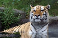Siberian Amur Tiger. In the Bronx Zoo Stock Image