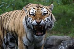 Siberian Amur Tiger. In the Bronx Zoo Stock Photos