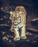 Tiger Cub. Siberian Amur tiger cub standing and staring Stock Photography
