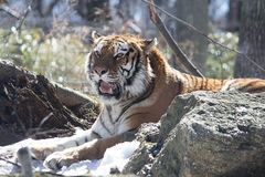 Siberian 'Amur' Tiger Stock Photography