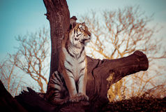 Tiger in a tree Stock Photos