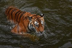 Siberian Amur tiger swimming in water Royalty Free Stock Photos