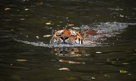 Siberian Amur tiger swimming in water Royalty Free Stock Images