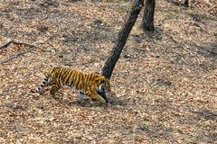 Siberian Amur tiger walking in the forest stock photography